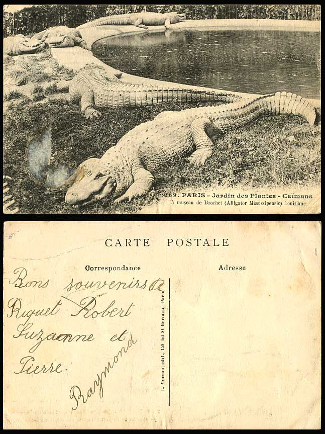 Alligators Mississippiensis, Muzzle Pike, Caimans Cayman Crocodiles Old Postcard
