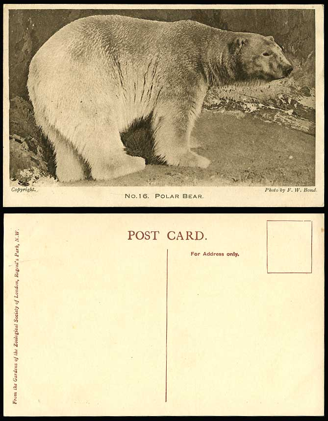 Polar Bear London Zoo Animals Regents Park Old Postcard Photo by F.W. Bond No.16