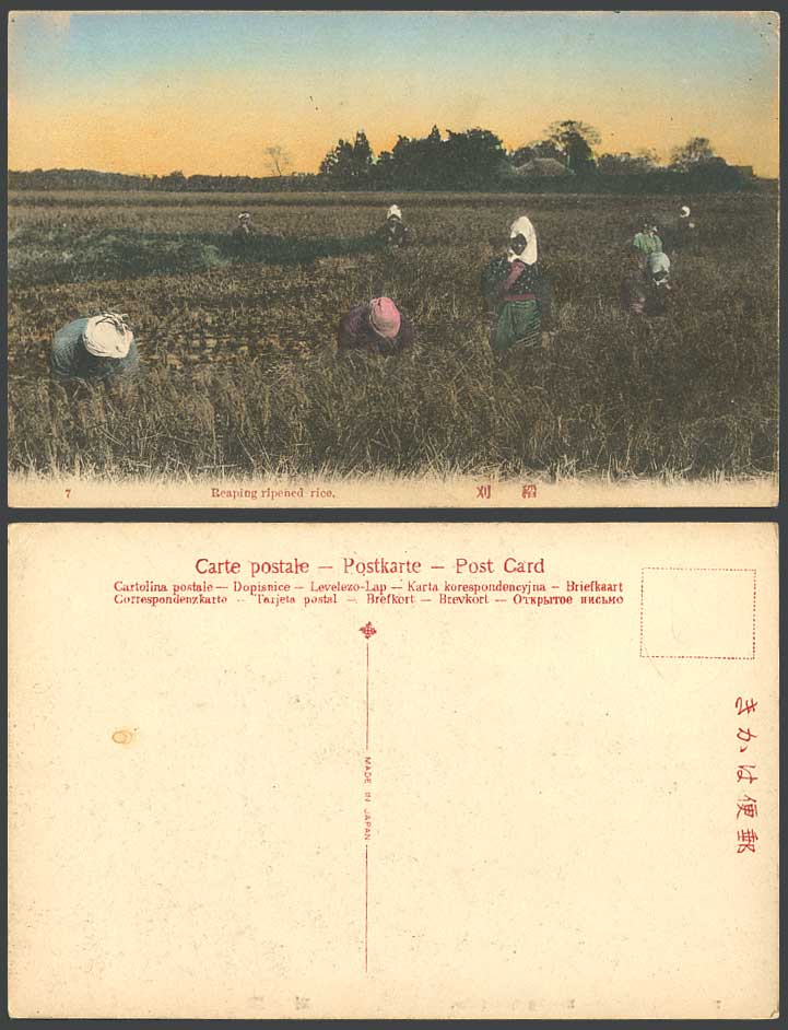 Japan Old Hand Tinted Postcard Native Farmers Reaping Ripened Rice, Paddy Fields