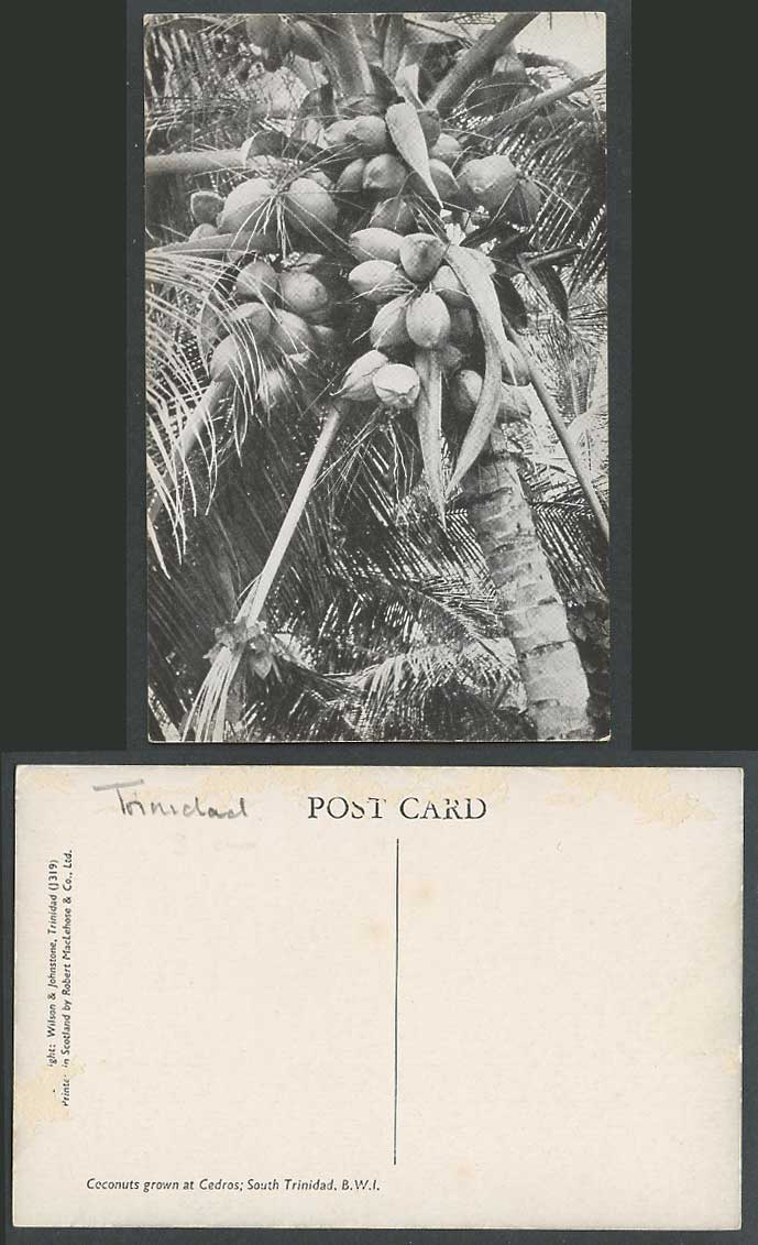 South Trinidad, Coconuts Grown at Cedros Old Postcard B.W.I. British East Indies