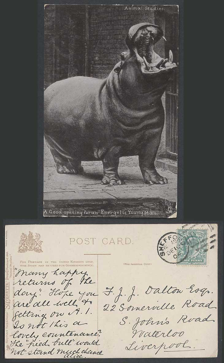 Hippopotamus Hippo Good Opening For Energetic Young Man 1904 Old Tuck's Postcard