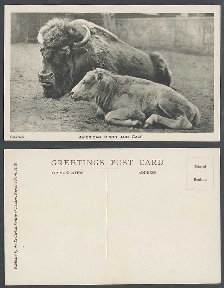 American Bison and Calf Old Postcard London Zoo Animals Zoological Gardens Horns