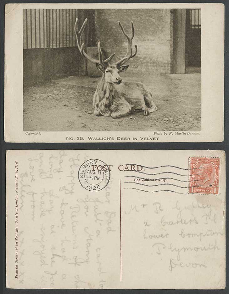 Wallich's Stag in Velvet Antlers Animal Photo F. Martin Duncan 1925 Old Postcard