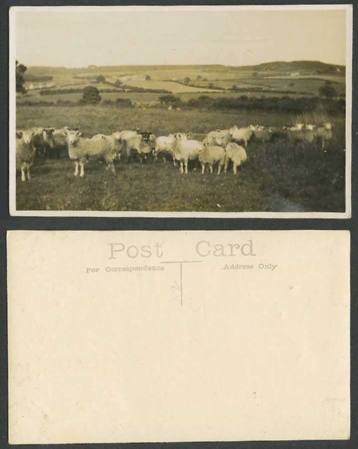 Herd of Sheep Lamb Ram Animals, Fields, Hills, Panorama Old Real Photo Postcard