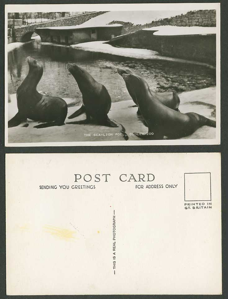 The Sea-Lion Pool, Sea Lions, Dudley Zoo Animals, Worcs. Old Real Photo Postcard