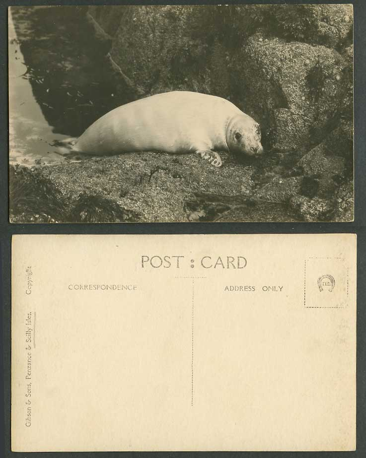 Sea Lion Seal Animal Old Real Photo Postcard Gibson & Sons, Penzance & Scilly Is