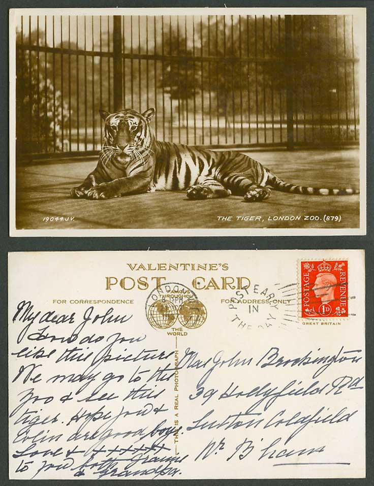 Tiger in Cage, London Zoo Zoological Gardens KG6 1d 1937 Old Real Photo Postcard