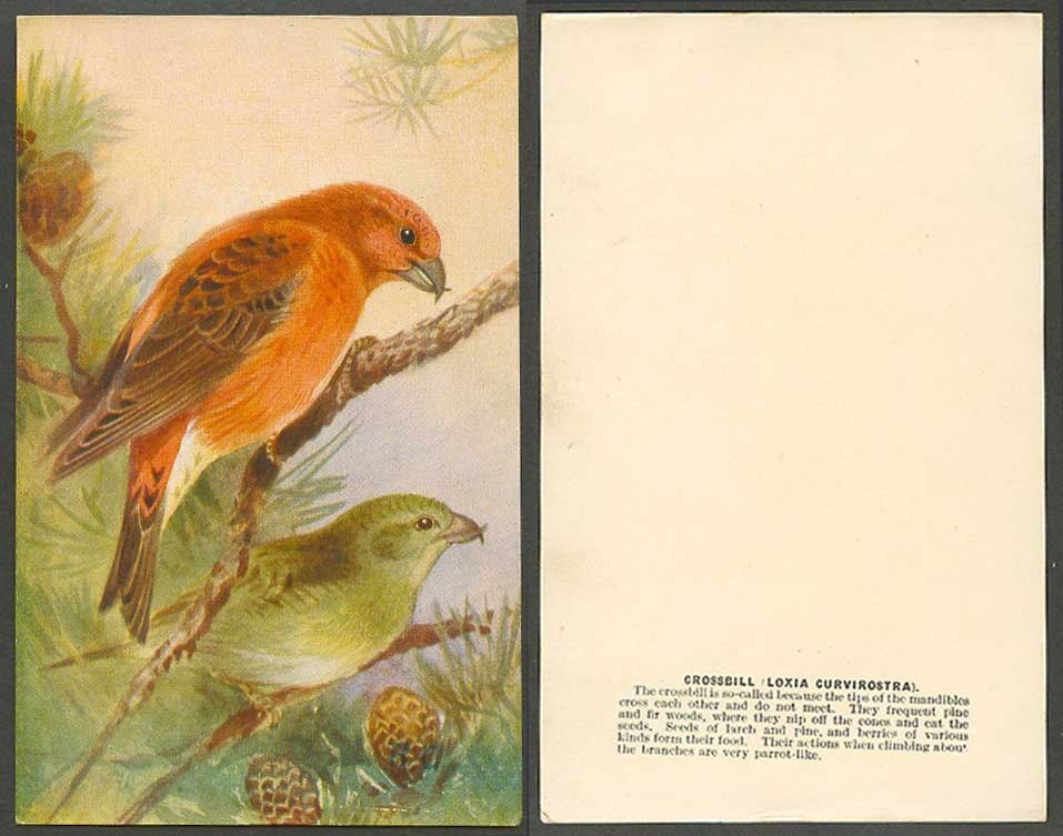 Crossbill Bird, Roland Green R.G. Artist Signed Old Card Loxia Curvirostra Finch