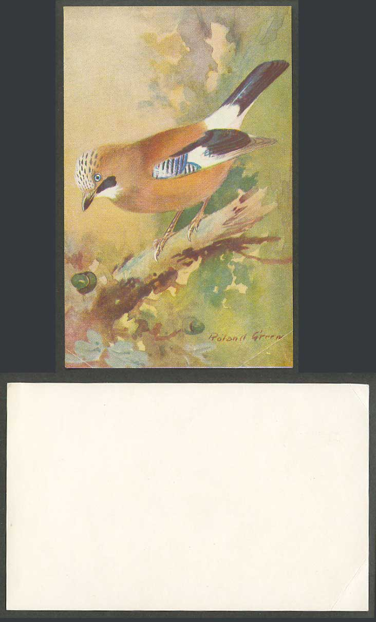 Jay Woodland Bird Egg-Stealing in Spring Roland Green Artist Signed Old Card ART