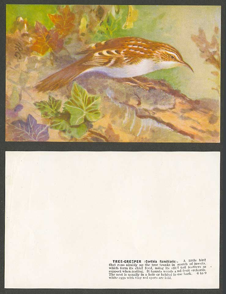 Tree-Creeper Bird, Roland Green R.G. Artist Signed Old Card Certhia familiaris