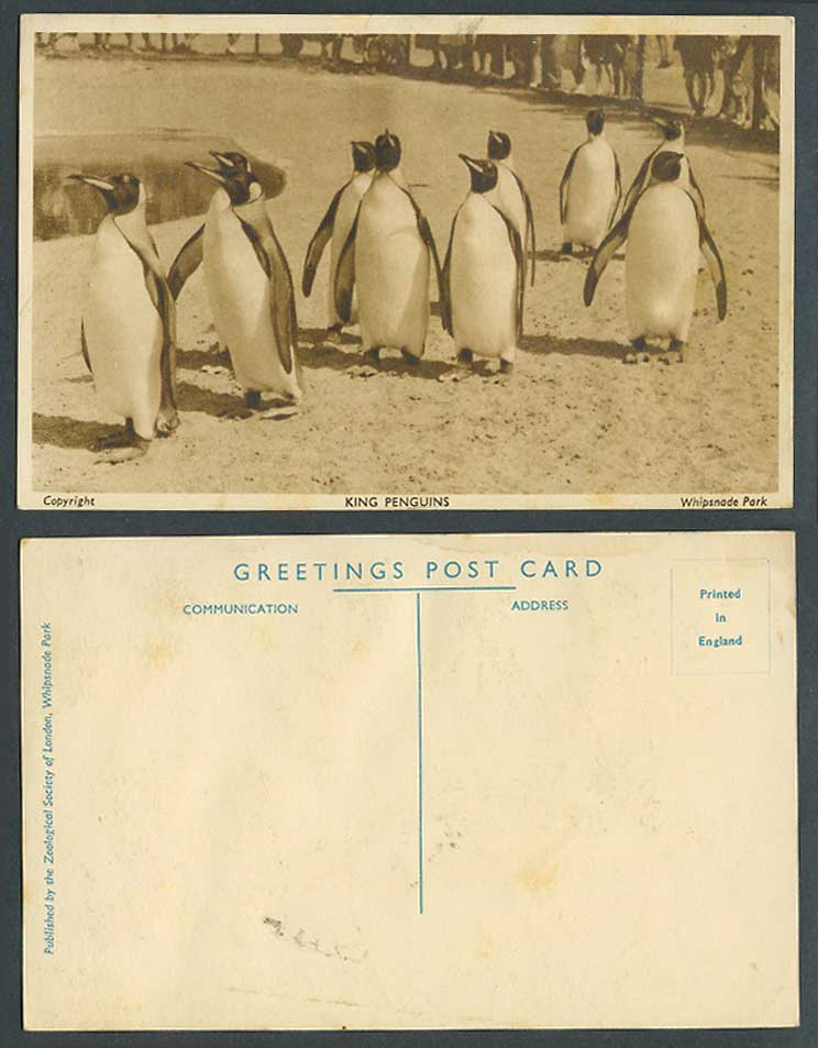 King Penguins Zoo Animals, Zoological Whipsnade Park Old Postcard Penguin Animal
