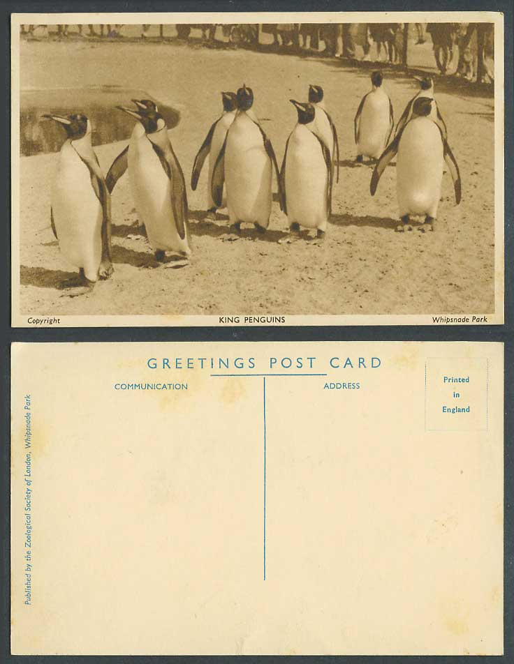King Penguins Zoo Animals Zoological Society Whipsnade Park Old Postcard Penguin