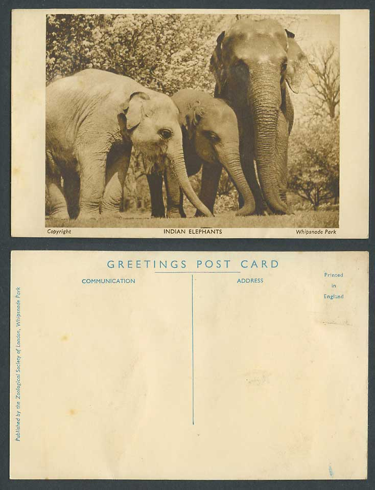 Indian Elephants Elephant Zoo Animals Whipsnade Park near Dunstable Old Postcard