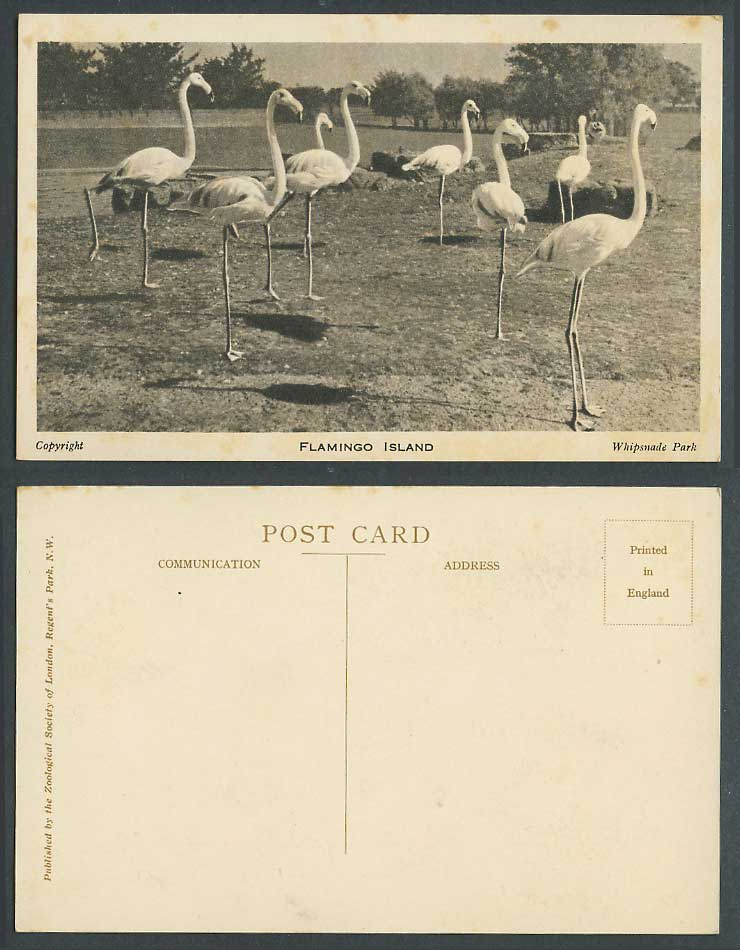 Flamingo Island Flamingoes Bird Birds Zoo Animals of Whipsnade Park Old Postcard