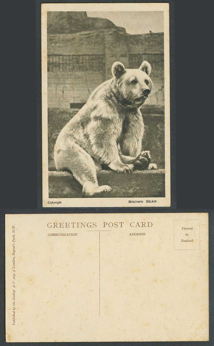 Brown Bear Zoo Animal, London Zoological Gardens Zoological Society Old Postcard