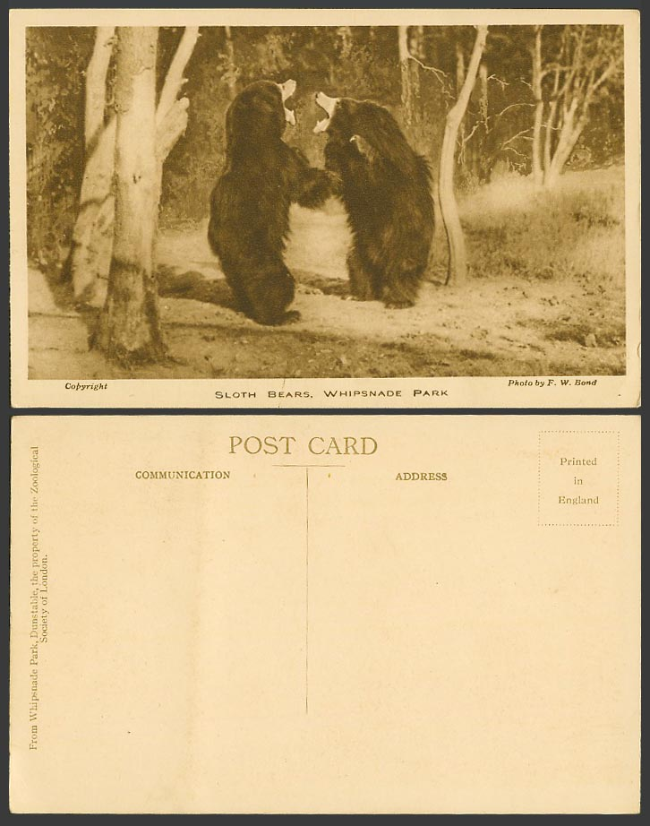 SLOTH BEARS, Bear Fight, Whipsnade Park Zoo Gardens Old Postcard Photo F.W. Bond